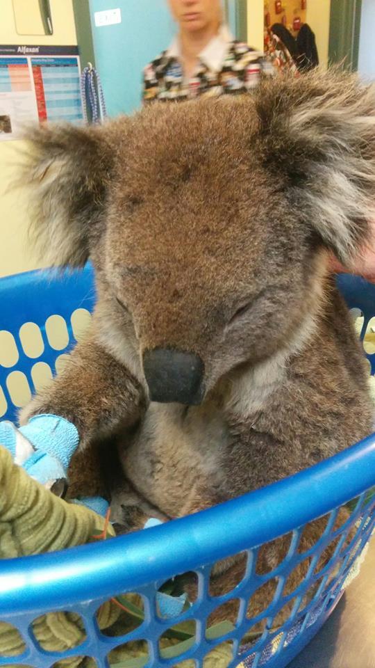 Lorne Fires Benji the Koala